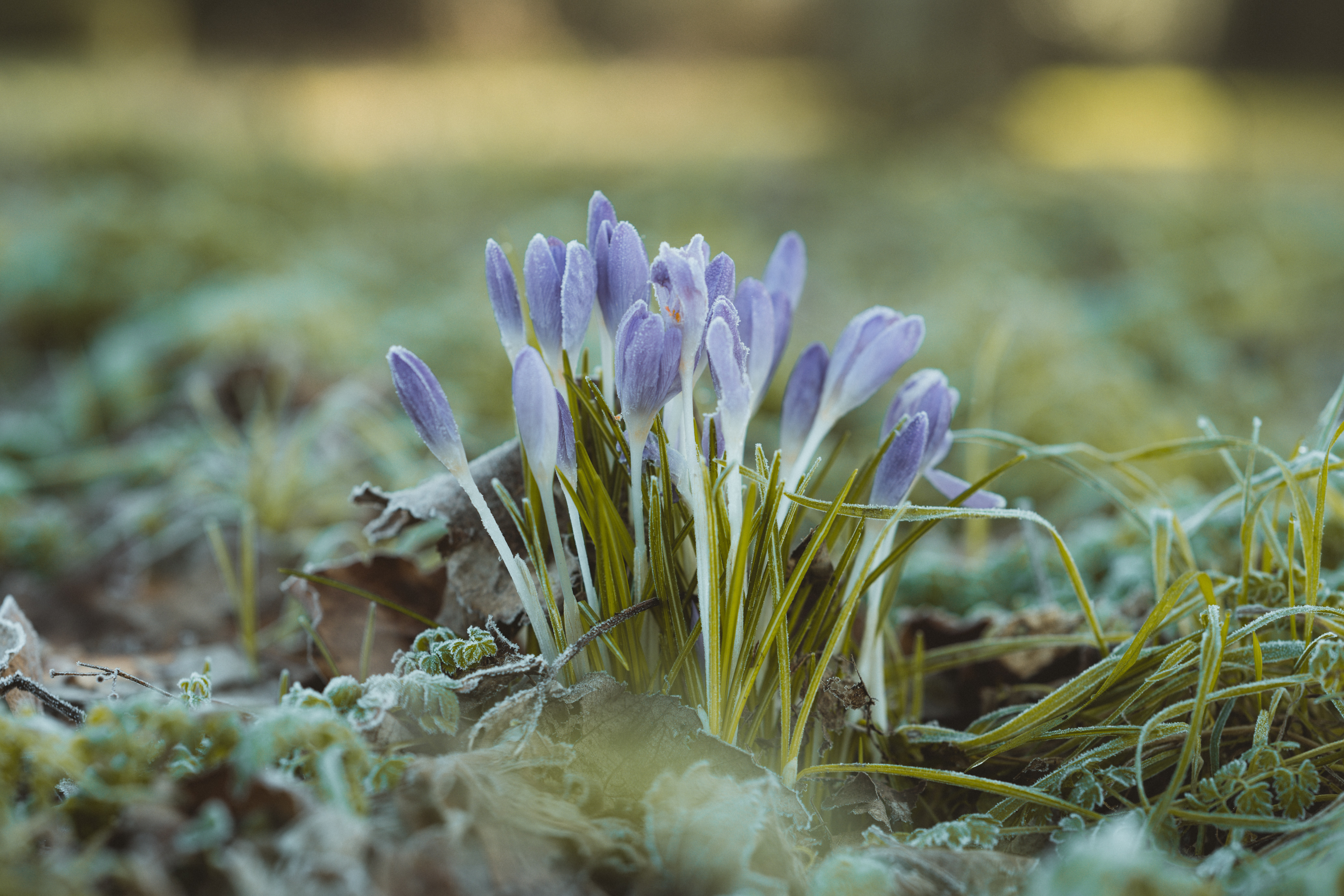 Photograph of blooming winter crocuses