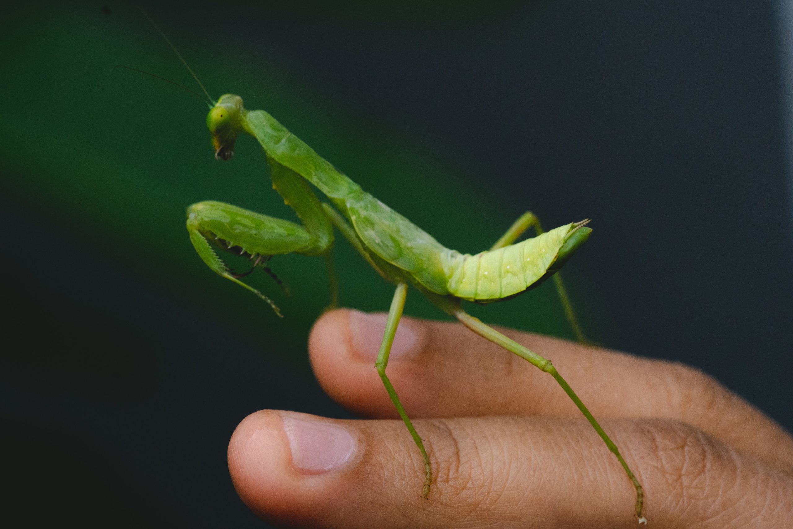 Photo of a preying mantis perched atop someone's hand.